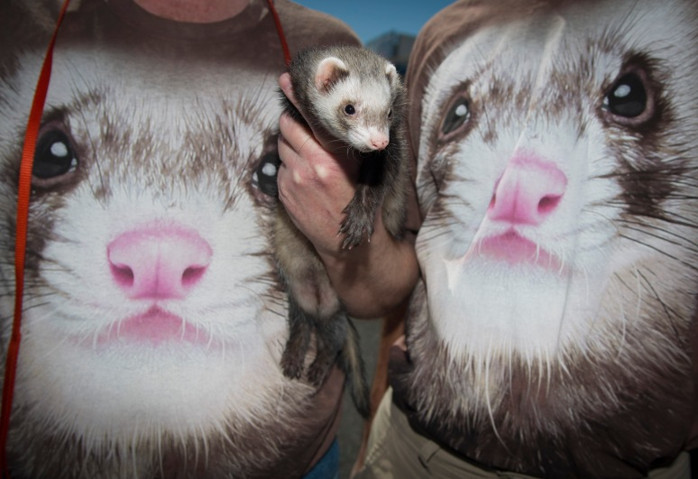 Marious Morgan (left) and Tony Bucci don matching ferret t-shirts as Marious holds his ferret, Ricky, at the m7 Street Fair on 7th Avenue on March 2, 2013. Aaron Lavinsky/The Arizona Republic